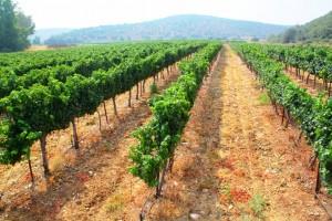 Hans Sternbach Winery_Weinberg
