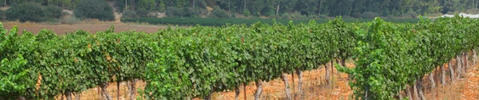 One of the Vineyards at Hans Sternbach Winery