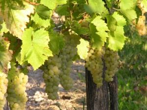 Gehegt und gepflegt - die Weintrauben des Atelier Kramar