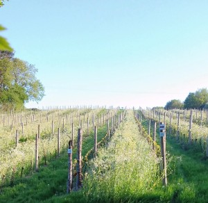 Lage Millenium - ©Sedlescombe Organic Vineyard