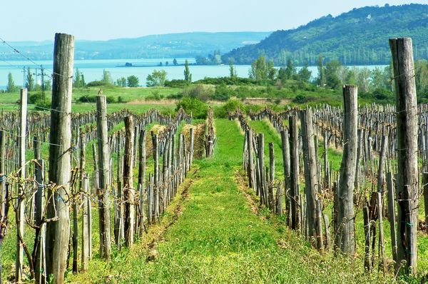 Beautiful vineyard landscape by the lake Balaton in Balatonfured, Hungary